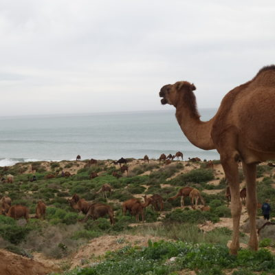 Camels surf in morocco